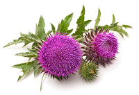 st mary's thistle
